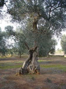 An ancient olive tree exhibiting early anthropomorphic characteristics
